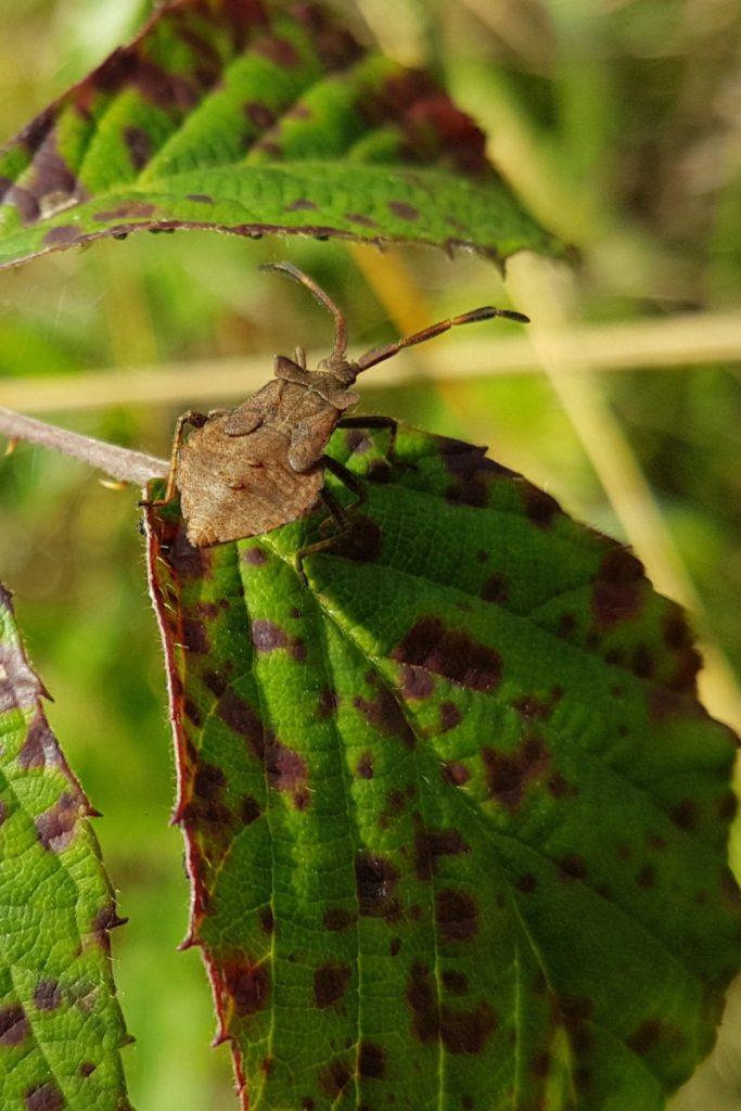 Rhombic Leatherbug Syromastus rhombeus