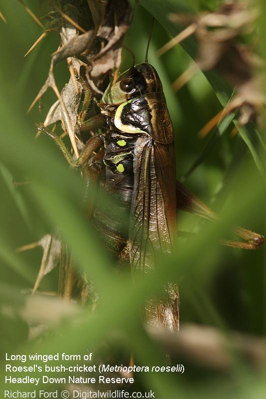 Roesel's bush-cricket long winged