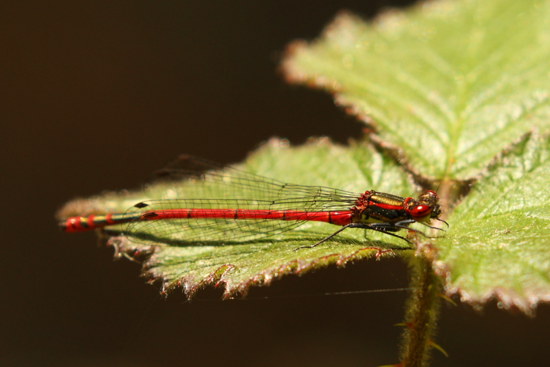 Large Red Damsel